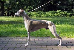 Whippet - The Breed Archive