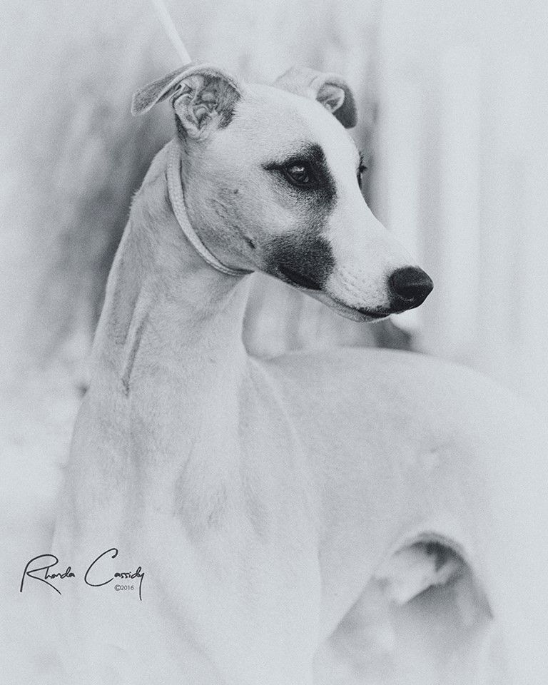 Whippet The Breed Archive